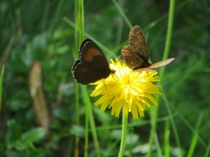2 butterflies on a dandelion :)